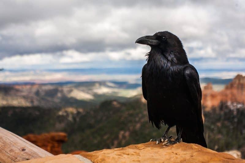 Black Crow Represents Death