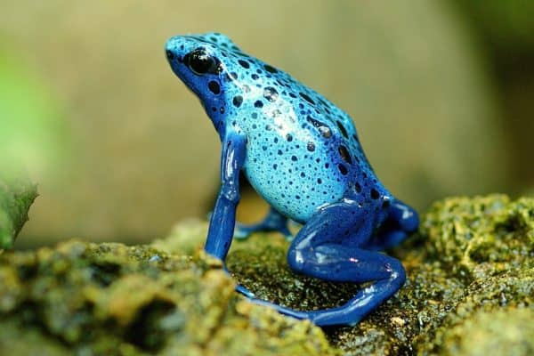 Blue Frog with Spots