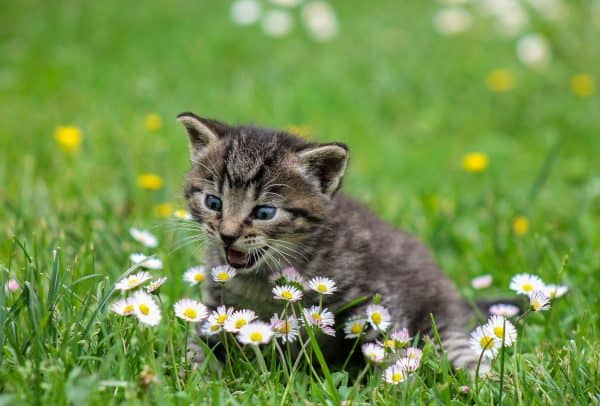 Kitten Playing with Flowers