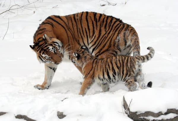 Mother Playing with its Cub