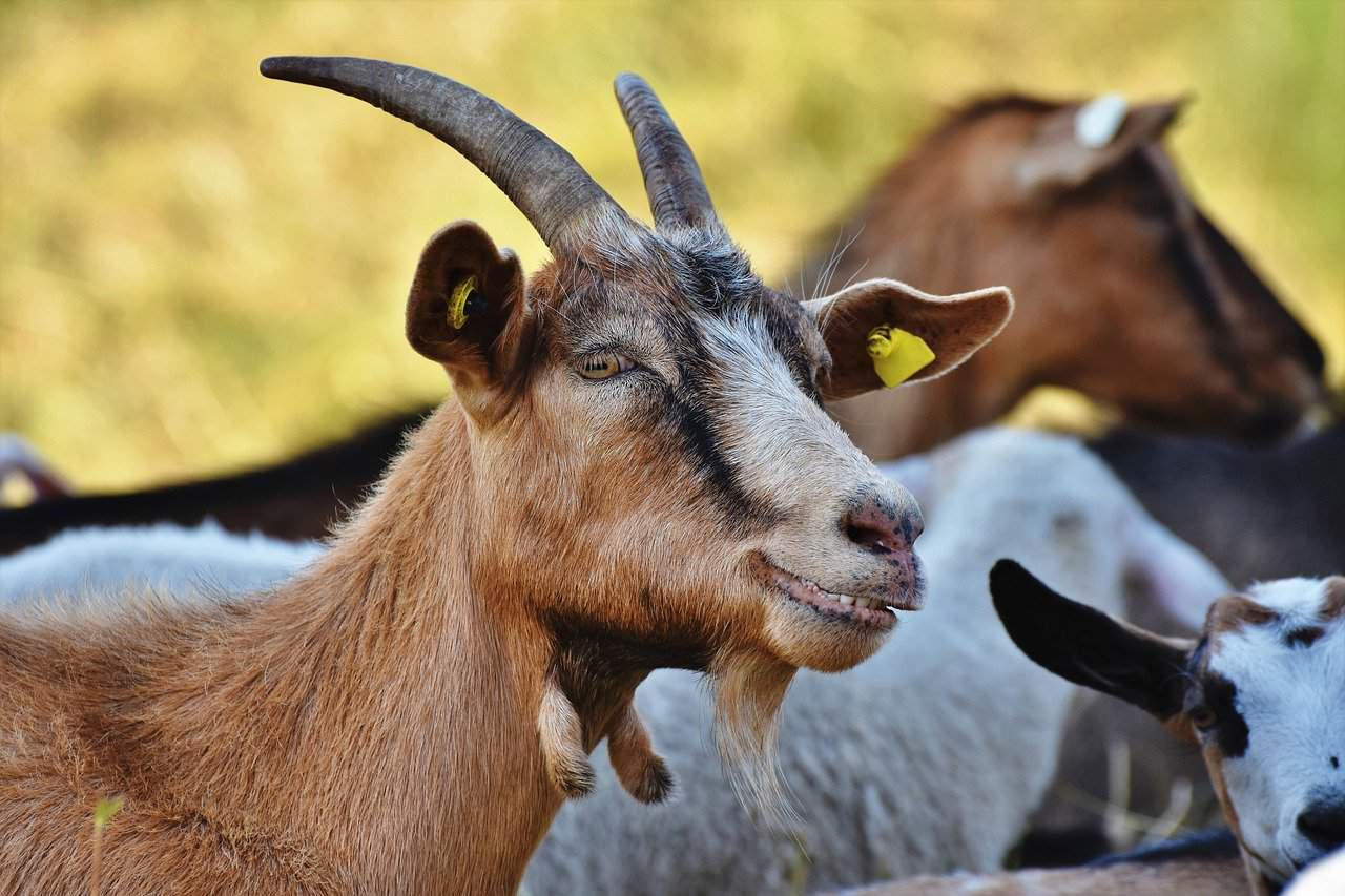 What Does it Mean When You Dream About a Goat?