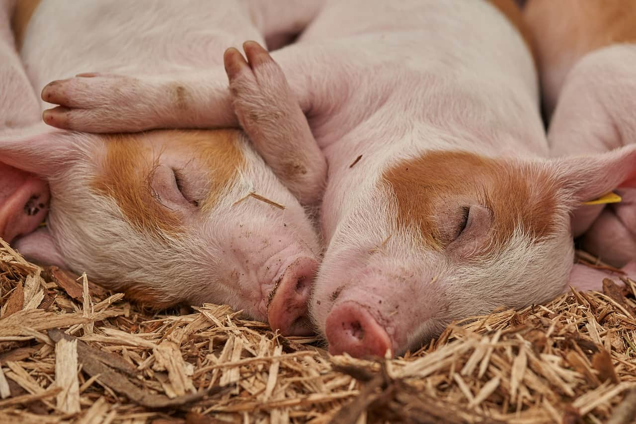 What Does it Mean When You Dream About a Pig?